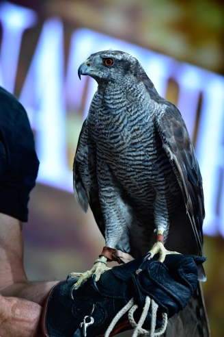 "A raptor featured in the ""Nature"" documentary ""H Is for Hawk: A New Chapter."" Photo credit: Rahoul Ghose/PBS"